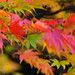 Japanese acer, windy autumn day, West Park