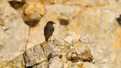 Black Redstart (RSPB RED status)
