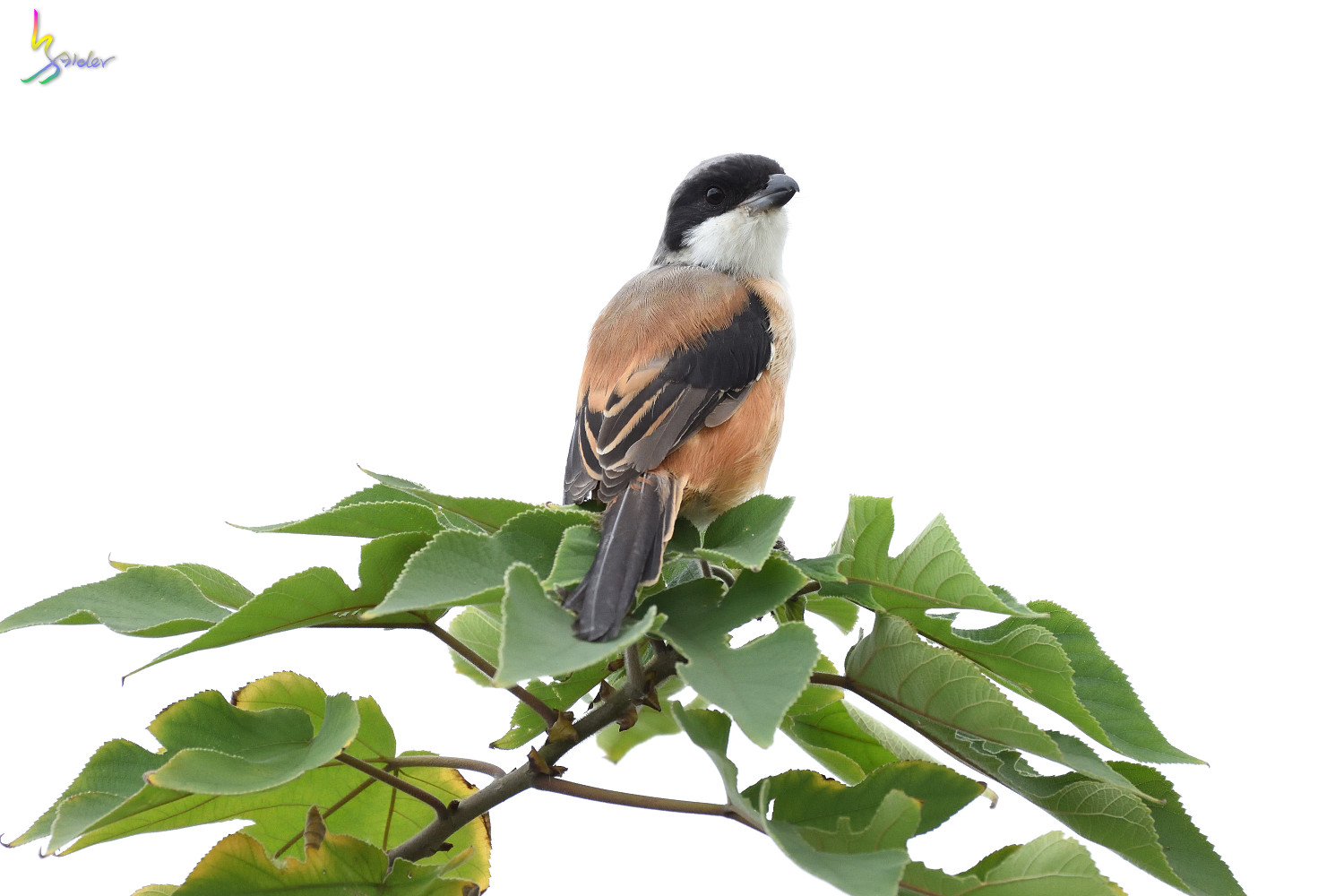 Long-tailed_Shrike_0805