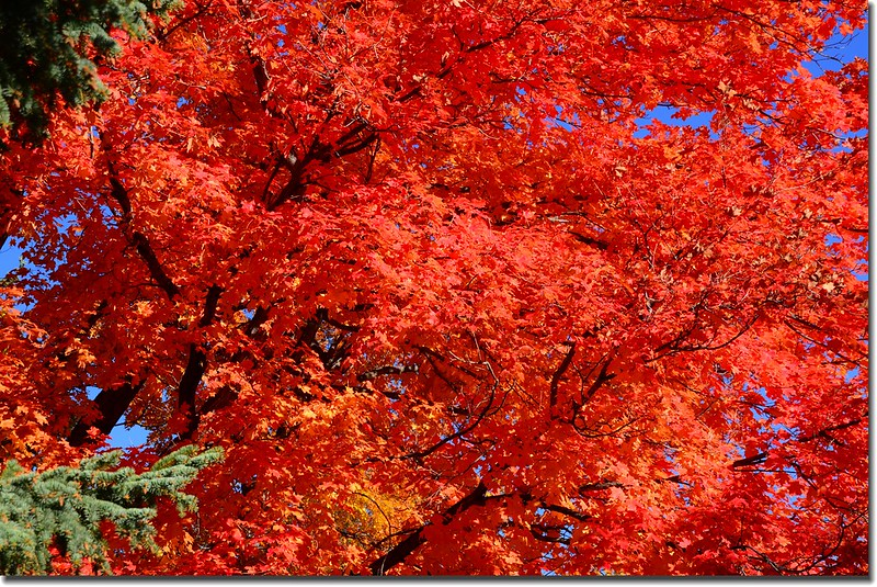 2017 Maple in Fall, Boulder, Colorado  (29)
