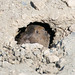 Small photo of Botta's pocket gopher Thomomys bottae
