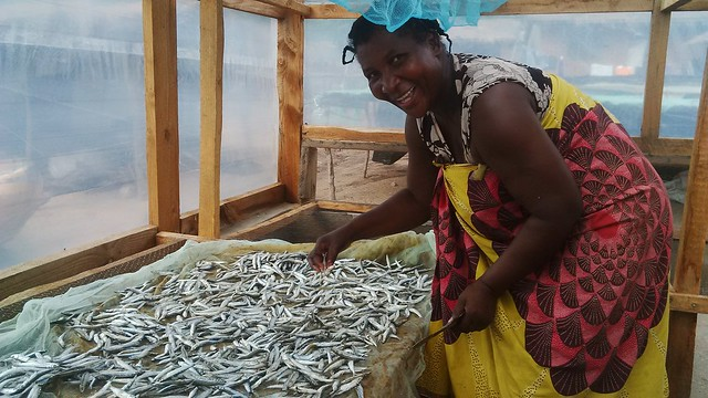 Mrs Bitinesi drying her fish in solar tent dryer in Lake Malawi. Photo by Asafu Chijere.