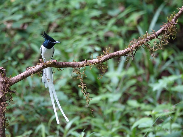 Asian Paradise Flycatcher maie