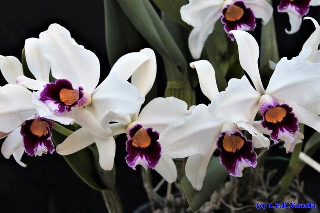 Laelia purpurata var. semialba