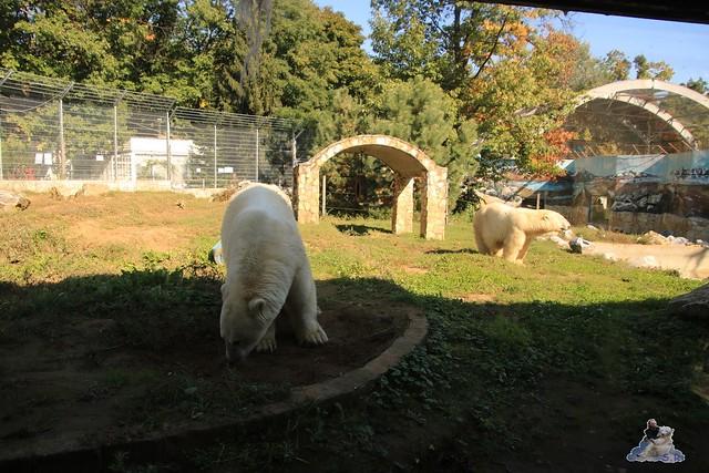 Eisbär Fiete im Sosto Zoo 01.10.2017 047