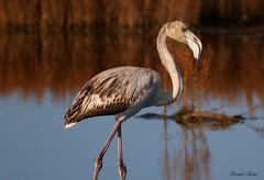 Fenicottero - Flamingo  (Phoenicopterus roseus) Juvenile.