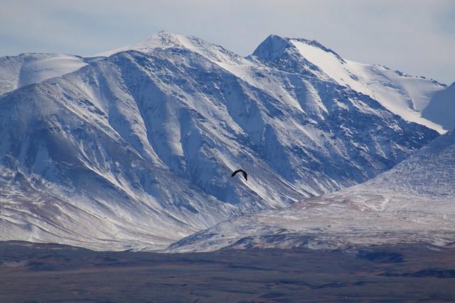 Eagle, Altai Mountains
