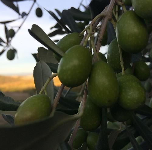 Olive verde
