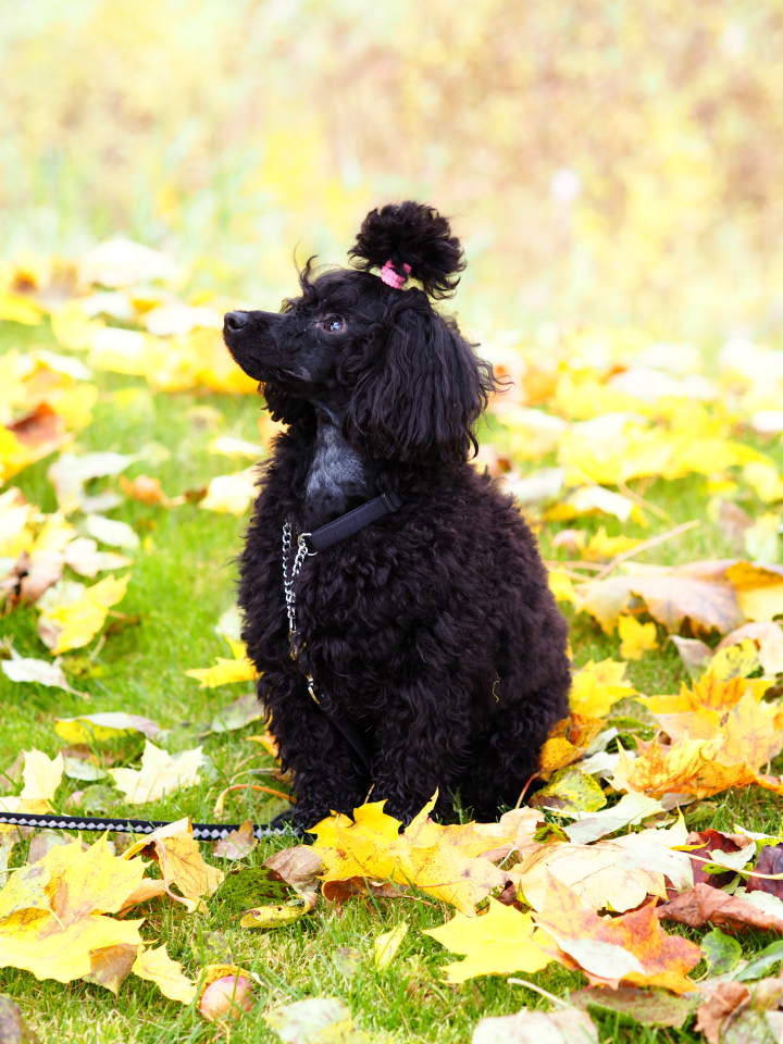 autumn_poodle3