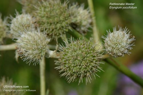 Rattlesnake Master, Button Eryngo, Button Snakeroot, Yuccaleaf Eryngo - Eryngium yuccifolium