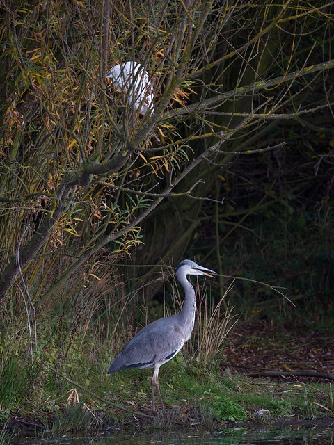 Heron & Egret - in a tree_3