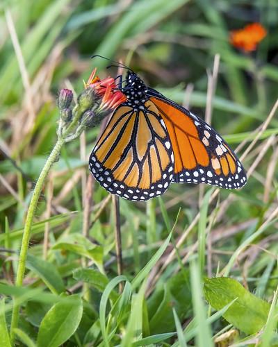 Monarch butterfly on Orange Hawkweed