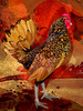 Rooster by suzi54241