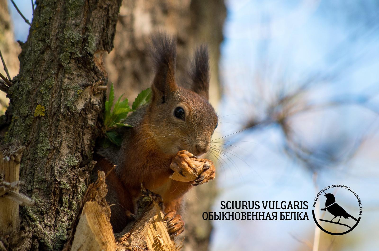 Sciurus vulgaris // 20171019
