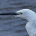 little egret 60 2017 head