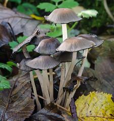 CRM fungi