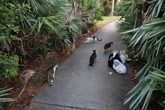 Feral Cat Colony at Scarborough Park at Rocky Point Island (Tampa, Florida - October 11th, 2017)