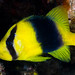 Doubleband Soapfish - Diploprion bifasciatum