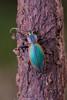 Escarabajo Peorro (Ceroglossus chilensis latemarginatus)