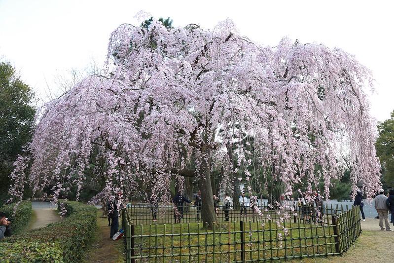 盛開的垂櫻
