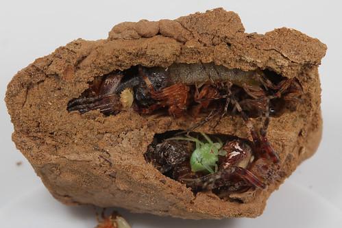 insect wasp hymenoptera sphecidae sceliphron sceliphroncaementarium blackandyellowmuddauber northcarolina piedmont canonefs60mmf28macrousm arachtober