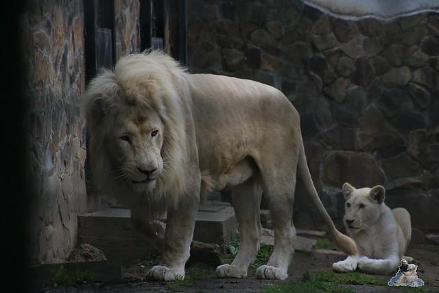 Eisbär Fiete im Sosto Zoo 01.10.2017 133
