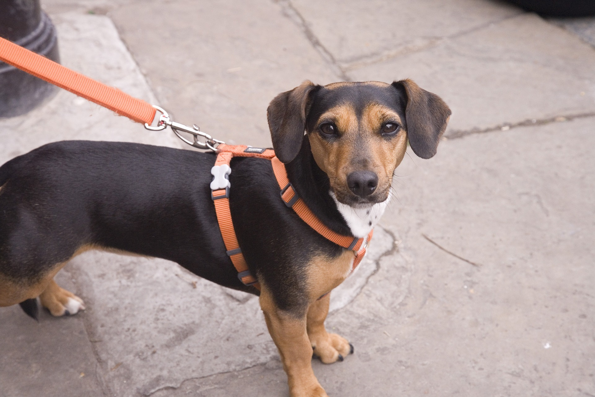 ハーネスで散歩をする子犬
