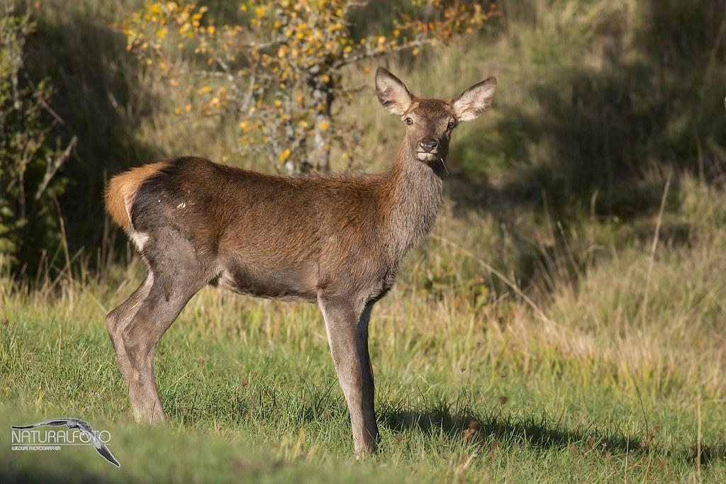 Cucciolotto di cervo