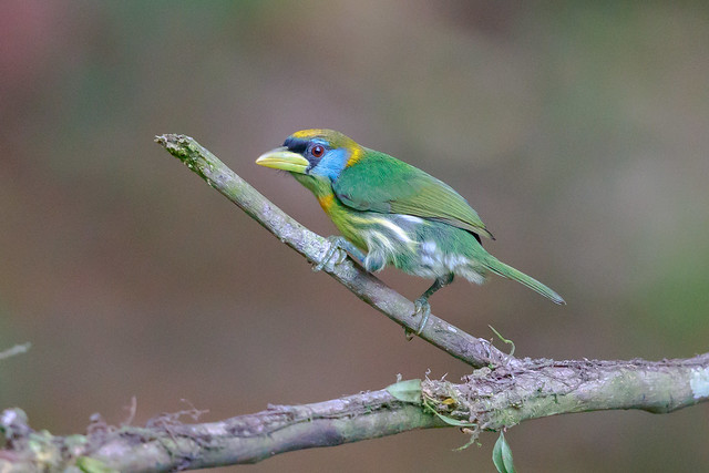 Red-headed Barbet (F)