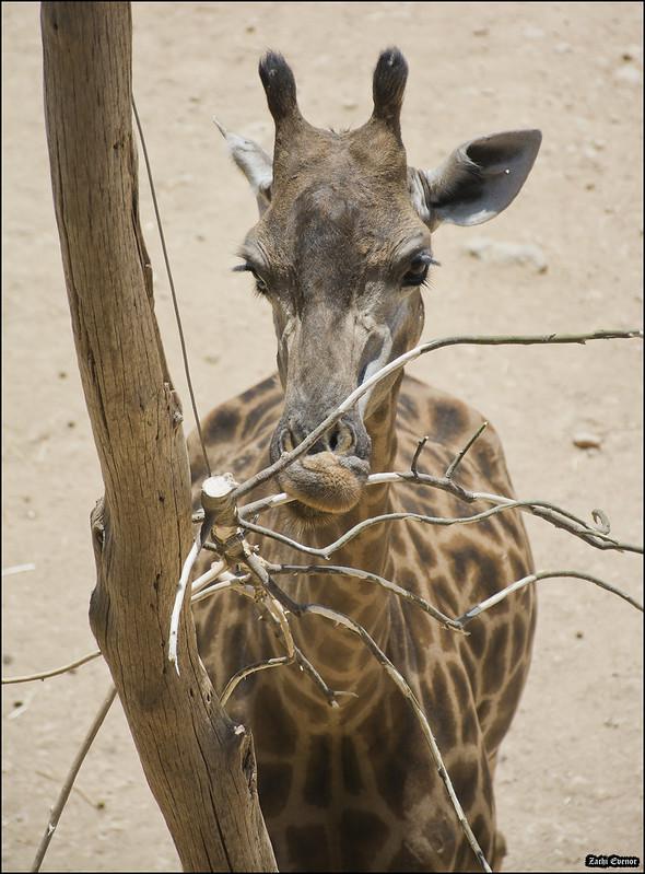 Giraffe in Jerusalem-Biblical-Zoo-IZE-627