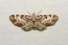 Eupithecia mutata (Spruce Cone Looper Moth) - Hodges # 7575