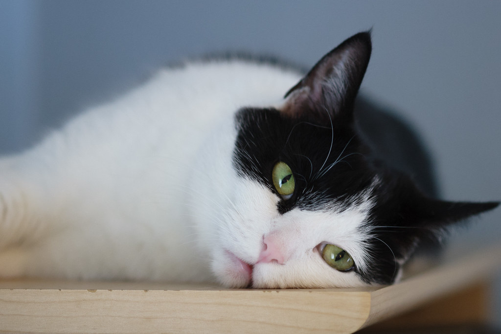 Our cat Scout lies listlessly at the top of my bookcase on a hot summer day