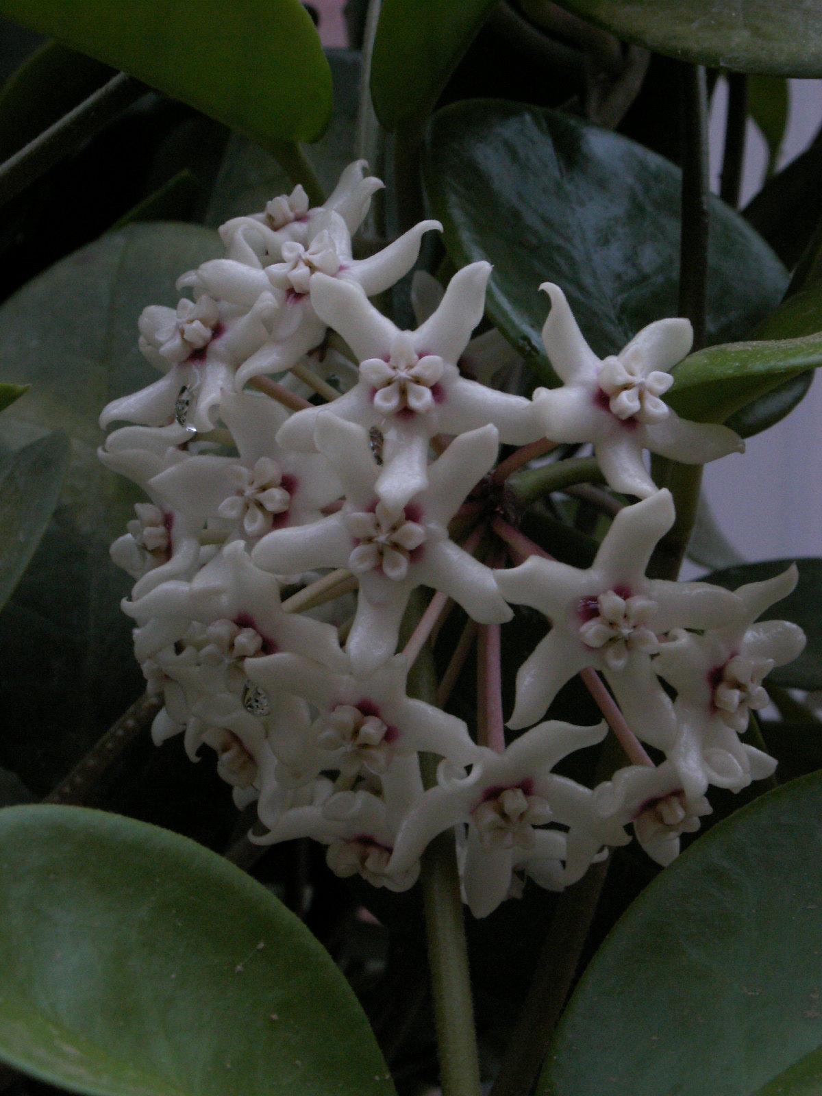 Hoya australis 37745746532_97d29dbcb8_h