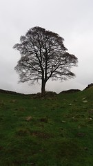 The Sycamore Gap.