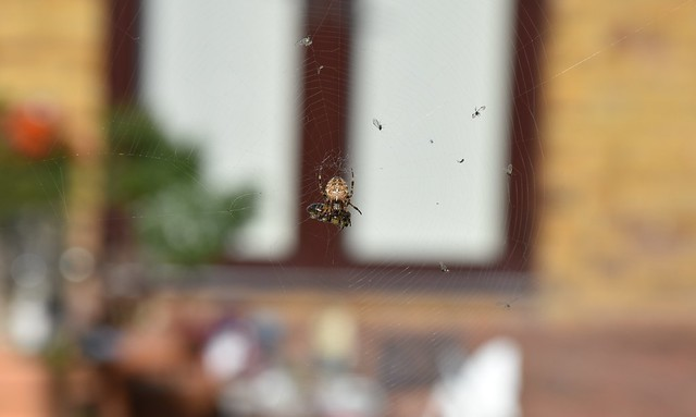 Common Garden Spider (14)