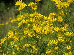 Bur-marigolds
