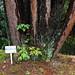Japanese red pine trees (Pinus densiflora 'Umbraculifera',  ウツクシマツ)