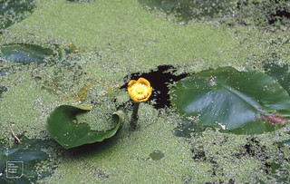 Nuphar Lemna, Whitchurch Canal 1992