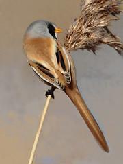 HolderBearded Reedling.(Male)