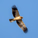 Booted Eagle by Simon Stobart - Back But Way Behind