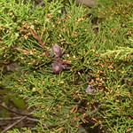 Cupressus lusitania needles and cones