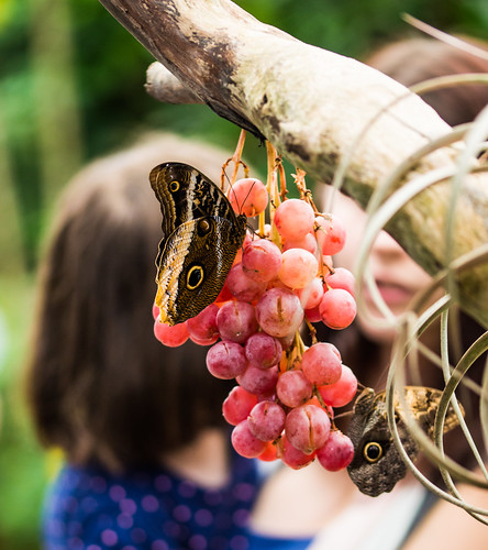 Feeding On Grapes 3
