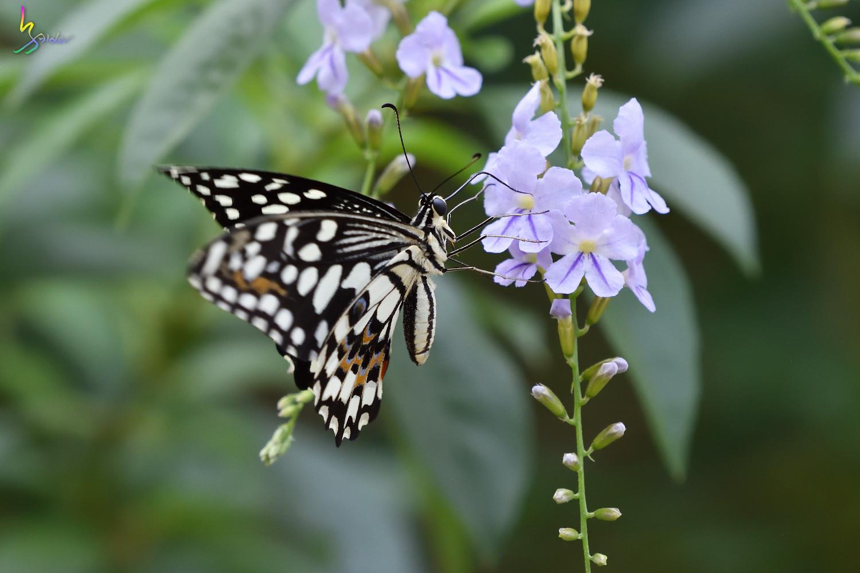 Butterfly_2527