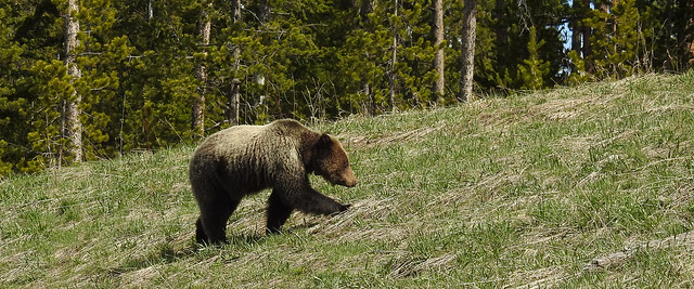 Teton - Young Grizzly