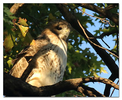 Pale Male at Sunset