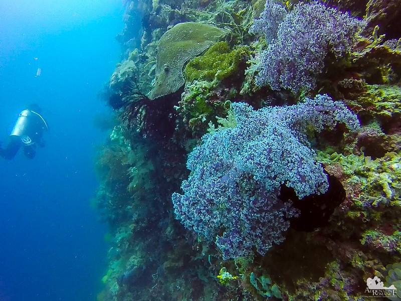 Nephtheidae Corals
