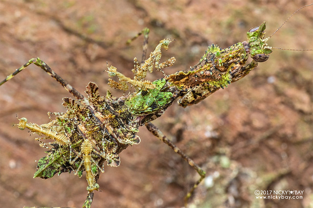 Moss mantis (Haania sp.) - DSC_9192b
