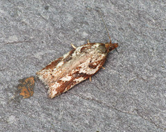 49.082 Heath Button - Acleris hyemana