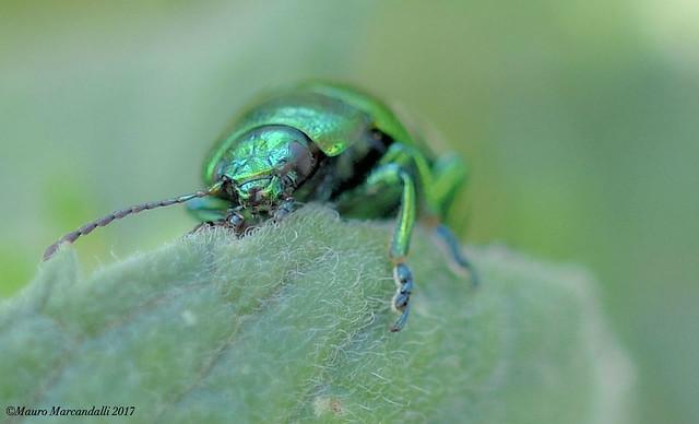 Chrysolina di smeraldo