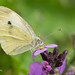 Small White Butterfly 500_2071.jpg